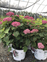 Load image into Gallery viewer, Hydrangea, Invincibelle Mini Mauvette - Songsco.com - Ocean Nursery