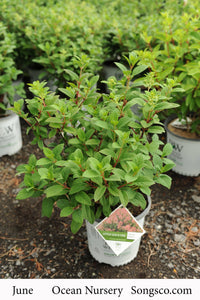 Hydrangea, Little Quick Fire - Songsco.com - Ocean Nursery