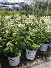 Load image into Gallery viewer, Hydrangea, Little Quick Fire - Songsco.com - Ocean Nursery