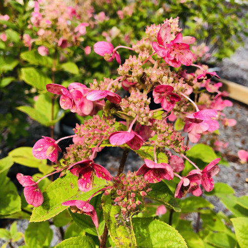 Hydrangea, Magical Fire - Songsco.com - Ocean Nursery