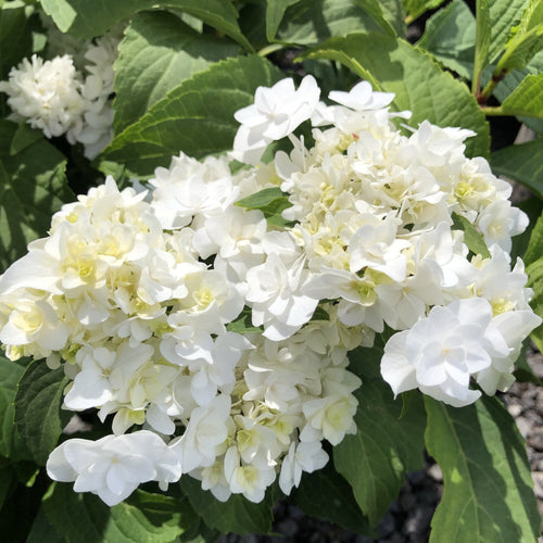 Hydrangea,'Dancing Snow' - Songsco.com - Ocean Nursery