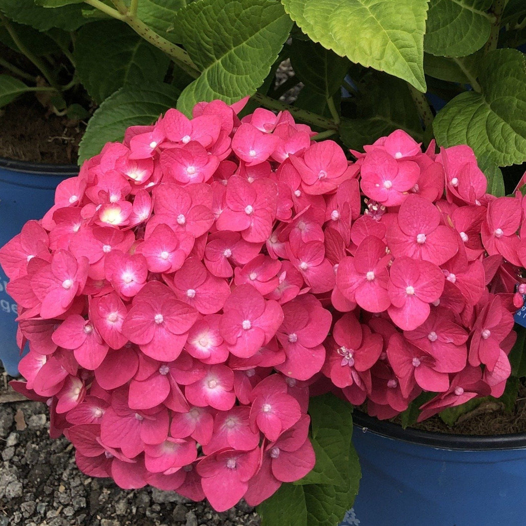 Hydrangea,Summer Crush - Songsco.com - Ocean Nursery