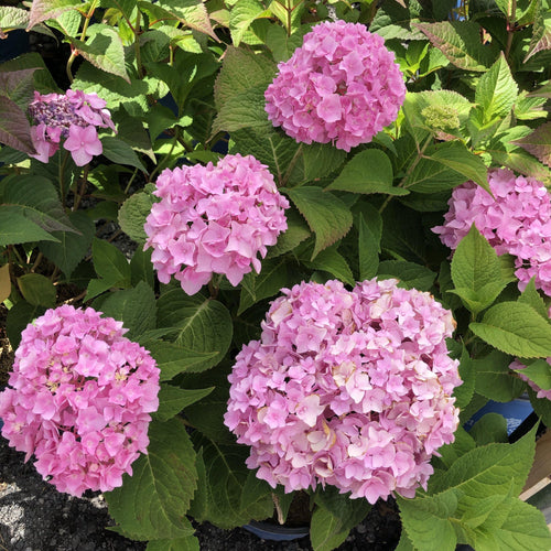 Hydrangea,Twist-n-Shout - Songsco.com - Ocean Nursery