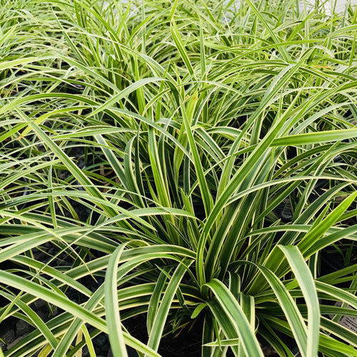Ice Dance Sedge - Songsco.com - Ocean Nursery