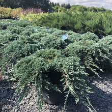 Load image into Gallery viewer, Icee Blue Juniper - Songsco.com - Ocean Nursery