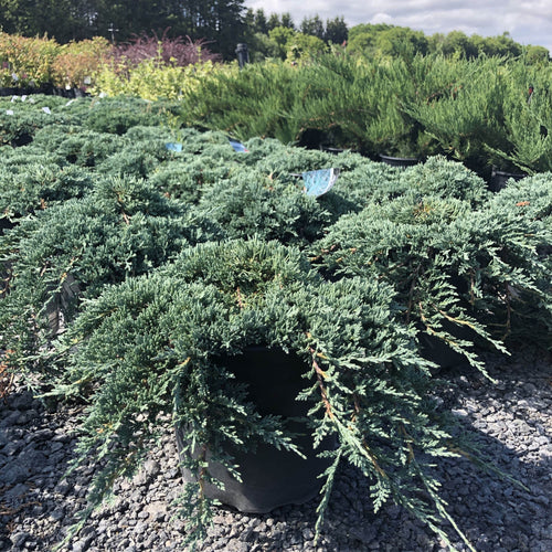 Icee Blue Juniper - Songsco.com - Ocean Nursery