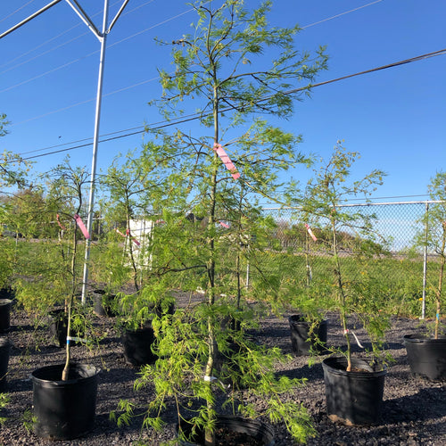 Green Cutleaf Japanese Maple - Songsco.com - Ocean Nursery