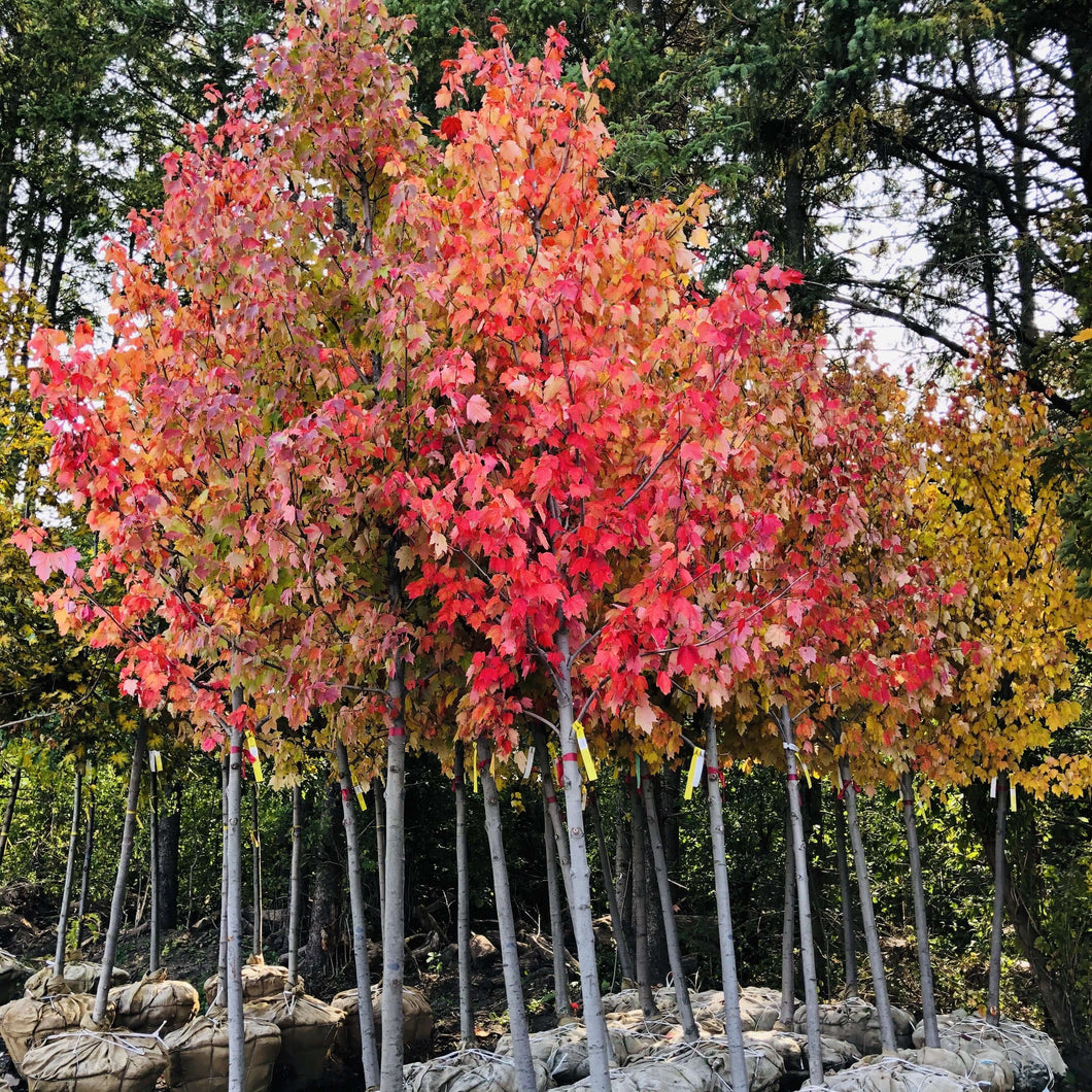 Red Sunset Maple - Songsco.com - Ocean Nursery