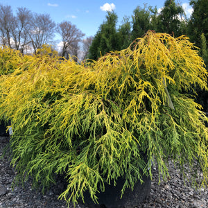 Golden Mop Threadleaf Cypress - Songsco.com - Ocean Nursery
