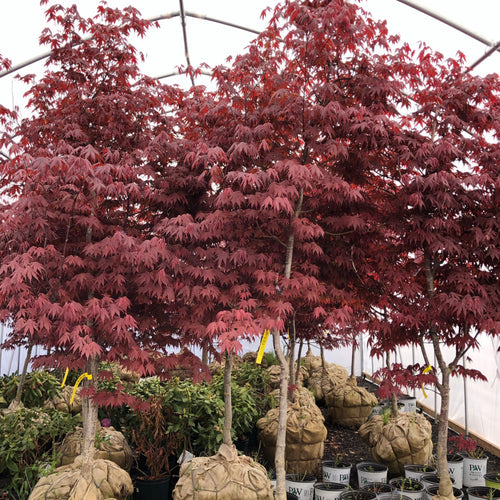 Emperor 1 Japanese Maple - Songsco.com - Ocean Nursery