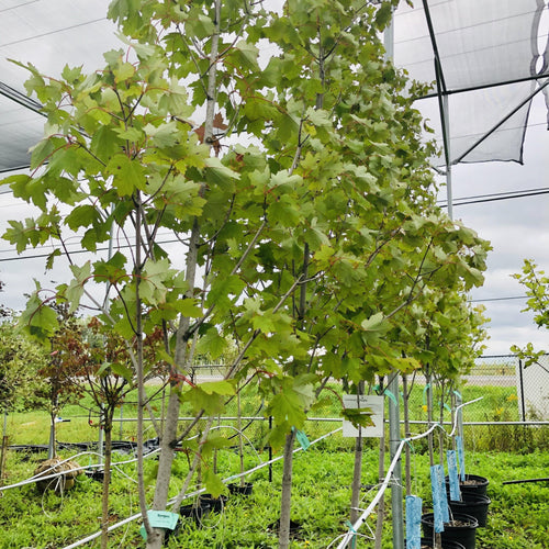 Armstrong Maple - Songsco.com - Ocean Nursery