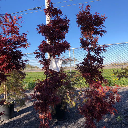 Red Sentinel Japanese Maple - Songsco.com - Ocean Nursery