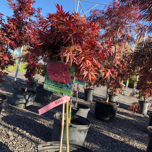 Standard Shaina Japanese Maple - Songsco.com - Ocean Nursery