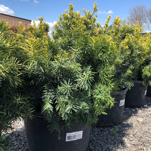 Golden Japanese Yew - Songsco.com - Ocean Nursery