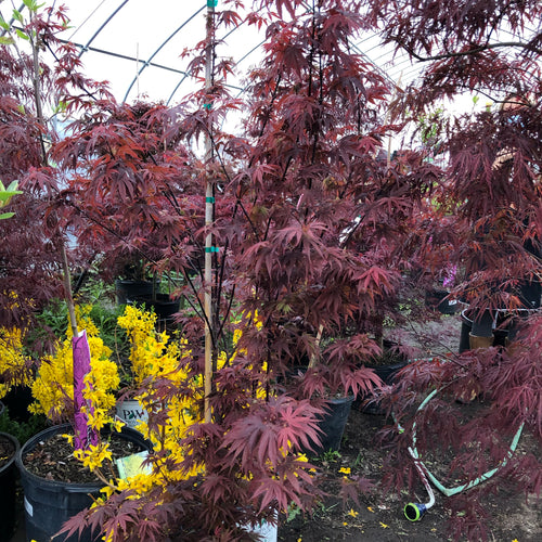 Purple Ghost Japanese Maple - Songsco.com - Ocean Nursery