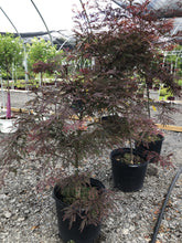 Load image into Gallery viewer, Inabe shidare Japanese Maple - Songsco.com - Ocean Nursery