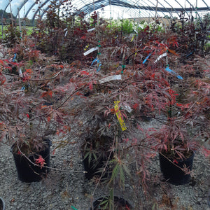 Inabe shidare Japanese Maple - Songsco.com - Ocean Nursery