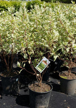 Load image into Gallery viewer, Ivory Halo Dogwood - Songsco.com - Ocean Nursery