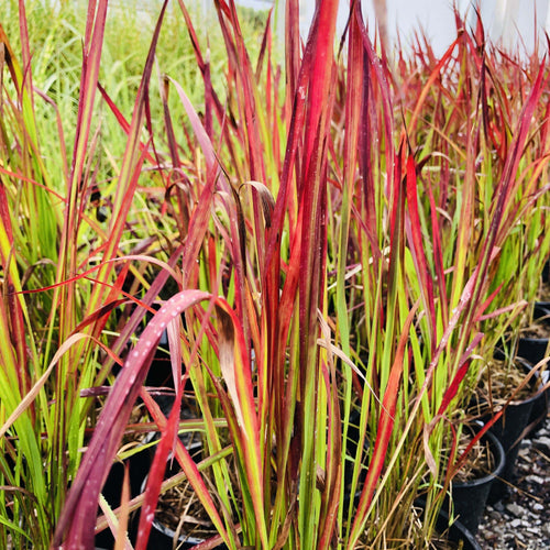 Japanese Blood Grass,Red Baron - Songsco.com - Ocean Nursery