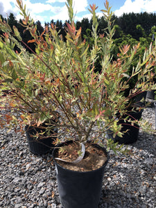 Japanese Willow - Songsco.com - Ocean Nursery