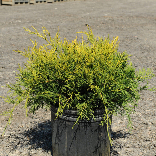 Juniper, Gold Coast - Songsco.com - Ocean Nursery