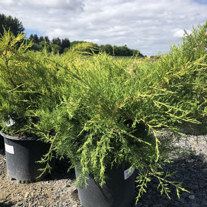 Juniper, Old Gold - Songsco.com - Ocean Nursery