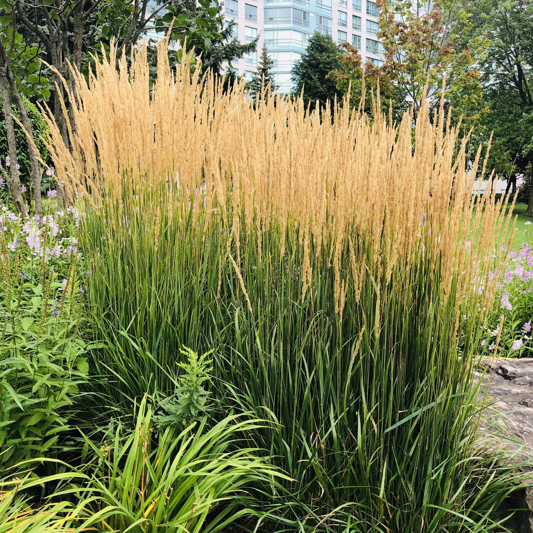 Feather Reed Grass, Karl Foerster - Songsco.com - Ocean Nursery