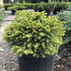 Little Gem Spruce - Songsco.com - Ocean Nursery