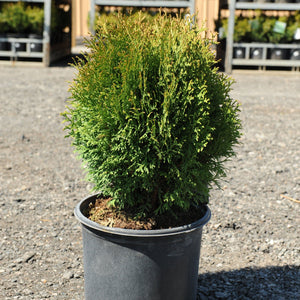 Little Giant Globe Cedar - Songsco.com - Ocean Nursery