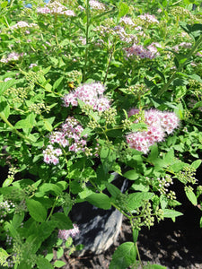 Little Princess Spirea - Songsco.com - Ocean Nursery