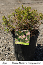 Load image into Gallery viewer, Little Princess Spirea - Songsco.com - Ocean Nursery