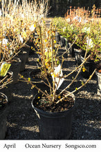 Load image into Gallery viewer, Magical Gold Forsythia - Songsco.com - Ocean Nursery