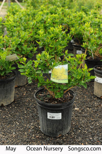 Magical Gold Forsythia - Songsco.com - Ocean Nursery
