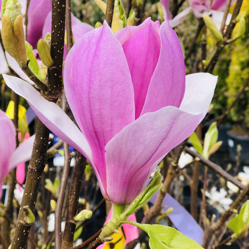 Magnolia, Betty - Songsco.com - Ocean Nursery