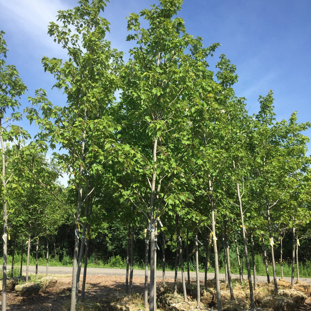 Marmo Maple - Songsco.com - Ocean Nursery