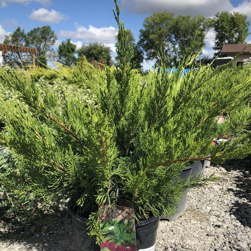 Mint Julep Juniper - Songsco.com - Ocean Nursery