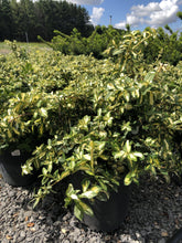 Load image into Gallery viewer, Moonshadow Euonymus - Songsco.com - Ocean Nursery