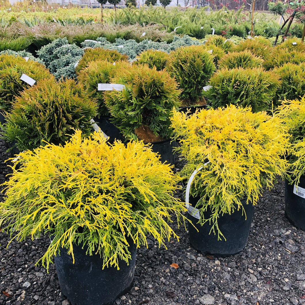 Mops Threadleaf Cypress - Songsco.com - Ocean Nursery