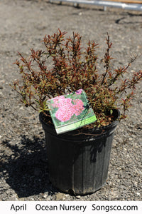 Neon Flash Spirea - Songsco.com - Ocean Nursery