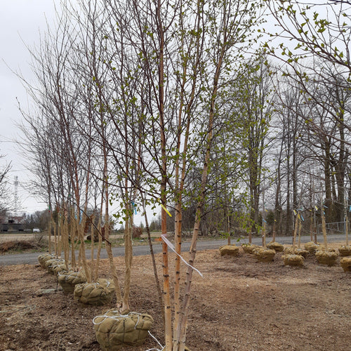 Paper Birch - Songsco.com - Ocean Nursery