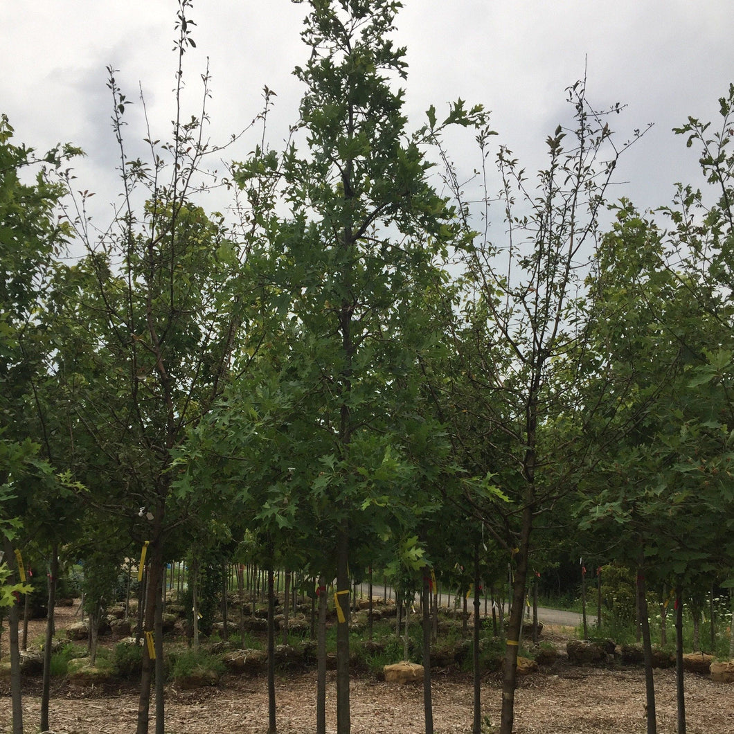 Pin Oak - Songsco.com - Ocean Nursery