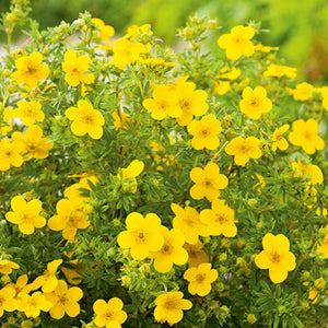 Potentilla, Goldfinger - Songsco.com - Ocean Nursery
