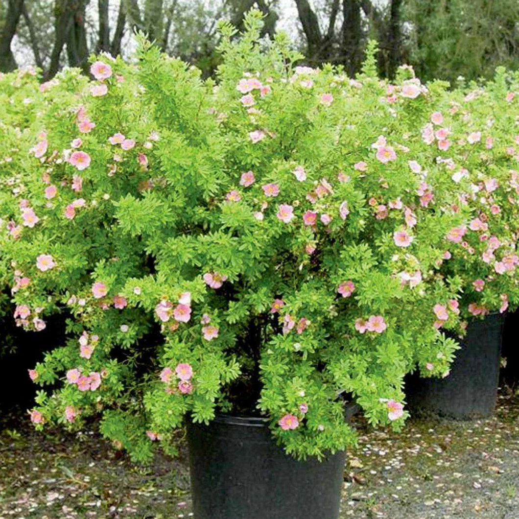 Potentilla, Pink Beauty - Songsco.com - Ocean Nursery