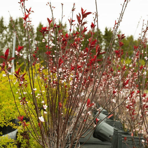 Purple leaf Sand Cherry - Songsco.com - Ocean Nursery