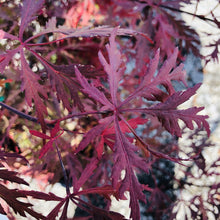 Load image into Gallery viewer, Red Dragon Japanese Maple - Songsco.com - Ocean Nursery