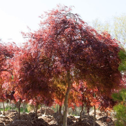 Red Dragon Japanese Maple - Songsco.com - Ocean Nursery