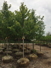 Load image into Gallery viewer, Red Sunset Maple - Songsco.com - Ocean Nursery