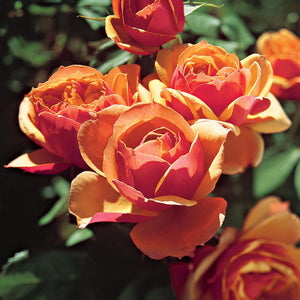 Rose , 'About Face' - Songsco.com - Ocean Nursery