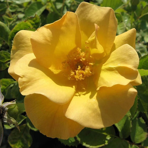 Rose , 'Bill Reid' - Songsco.com - Ocean Nursery
