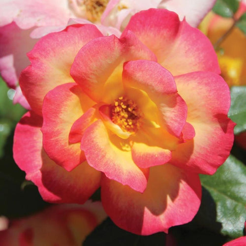 Rose , 'Campfire' - Songsco.com - Ocean Nursery